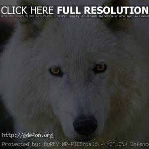 мелвильский островной волк