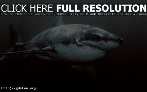 Обои Большая белая акула фото картики заставки