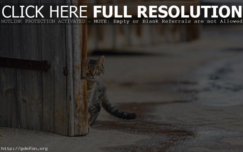 Обои взгляд кошки фото картики заставки