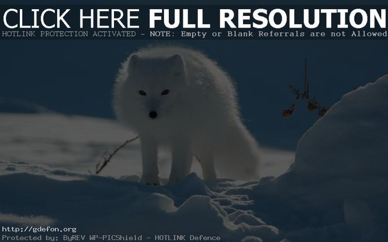 Обои полярная лисица фото картики заставки