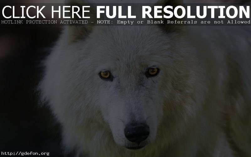 Обои мелвильский островной волк фото картики заставки