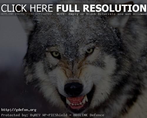 Обои Скалящийся волк фото картики заставки