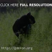 Черная кошка крадется в зеленой траве