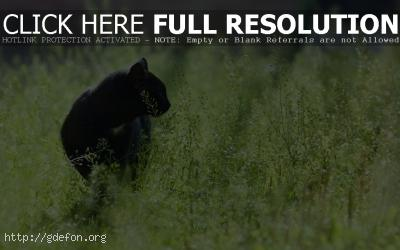 Обои Черная кошка крадется в зеленой траве фото картики заставки