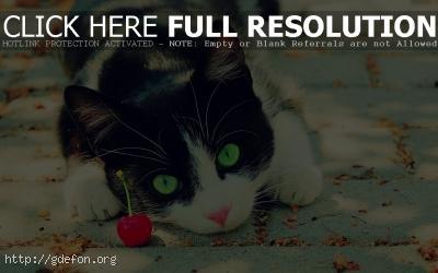 Обои Притаившийся черно-белый кот фото картики заставки