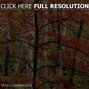 Осень, береза, лес