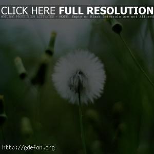 Растение, одуванчик, зелень