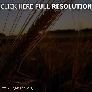 Колос, поле, закат