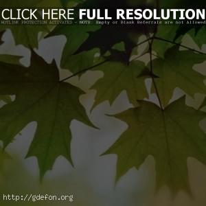 Листва, цвет, осень, клен