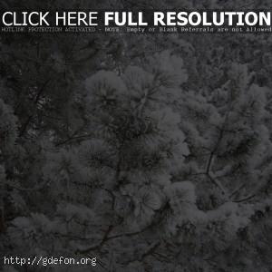 Природа, елки, лес, снег, иней, зима