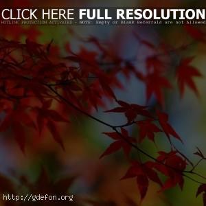 Листья, ветки, осень, красный