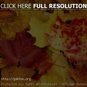 Осень, листы, желтый, клен