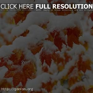 Снег, листья, клен, дерево, иней