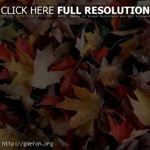 Осень, листья, листва, клен