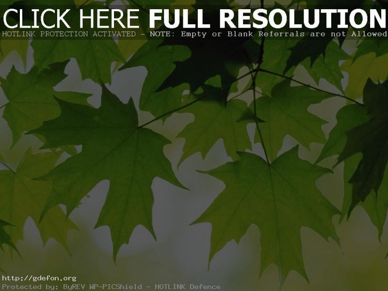 Обои Листья, клен, свежесть фото картики заставки