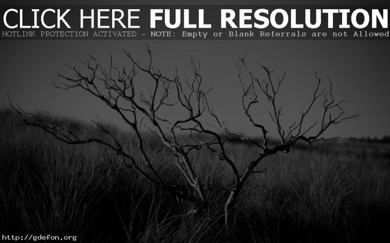 Обои черно-боле фото засохшего дерева фото картики заставки
