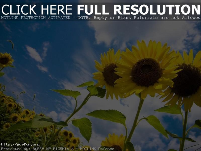 Обои Подсолнухи, солнце, небо, облака фото картики заставки