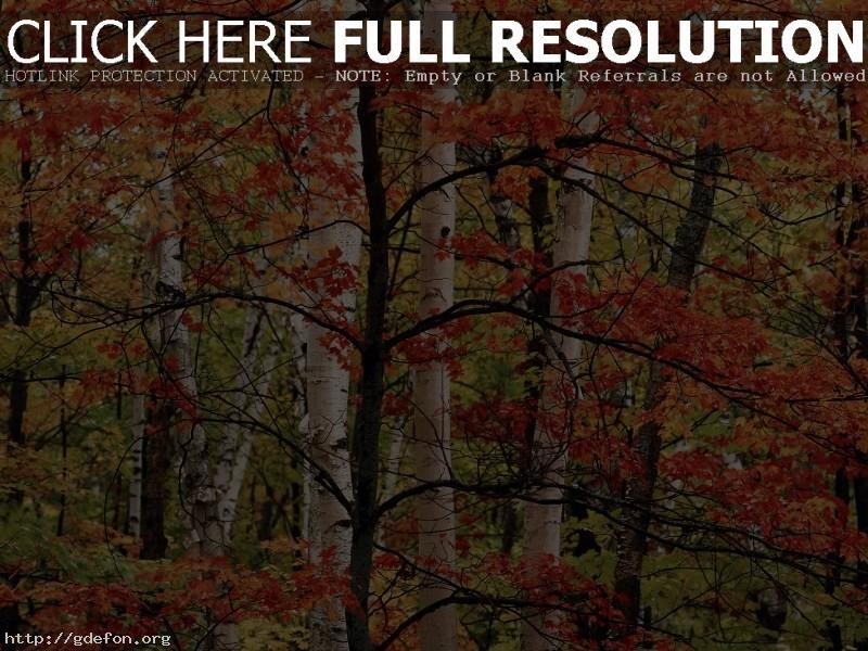 Обои Осень, береза, лес фото картики заставки