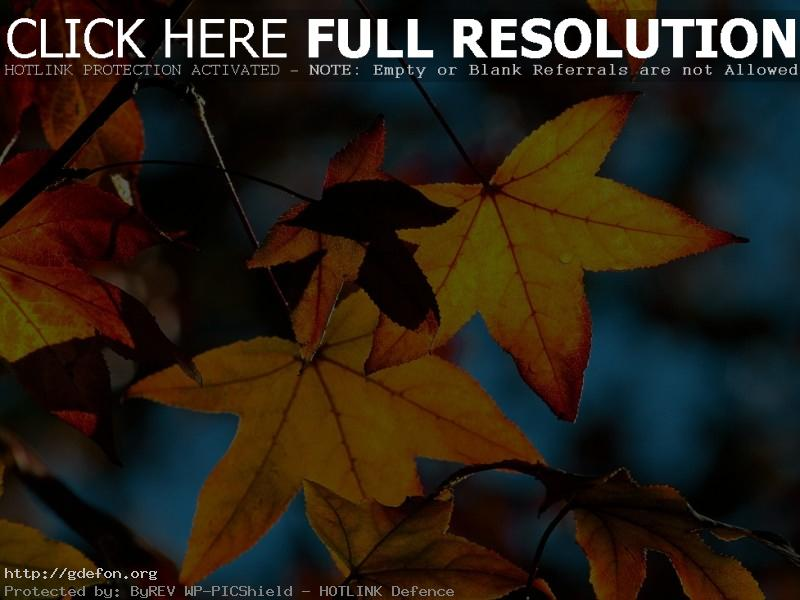 Обои Листья, клен, осень, желтый фото картики заставки