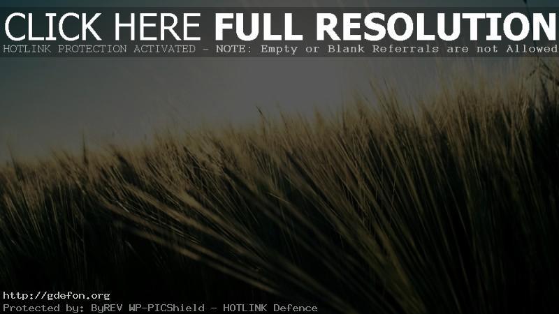 Обои пшеница, поле, лето, небо, солнце фото картики заставки