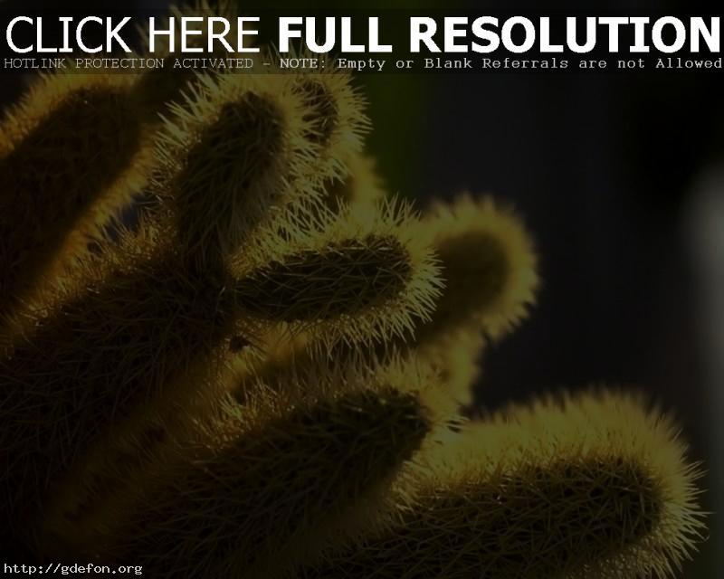 Обои Иголки, кактус, растение фото картики заставки