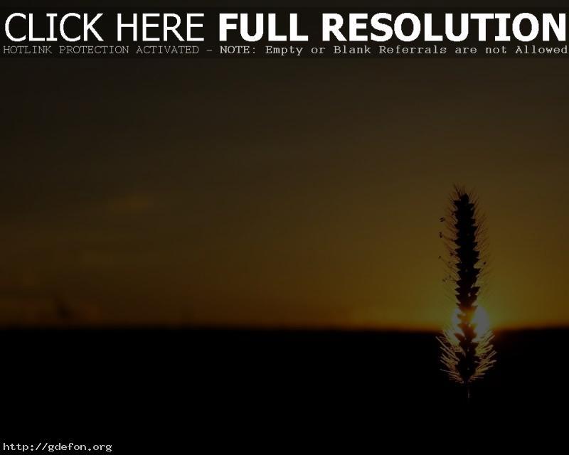 Обои Колос, солнце, закат фото картики заставки