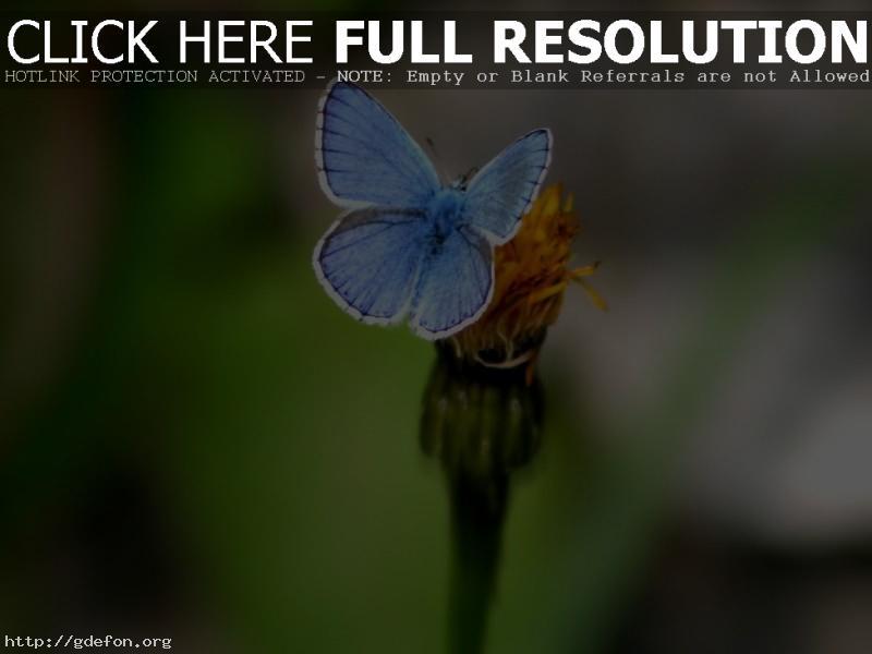Обои Бабочка и цветок фото картики заставки