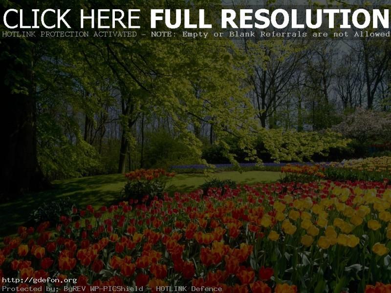 Обои Деревья, цветы, тюльпаны фото картики заставки