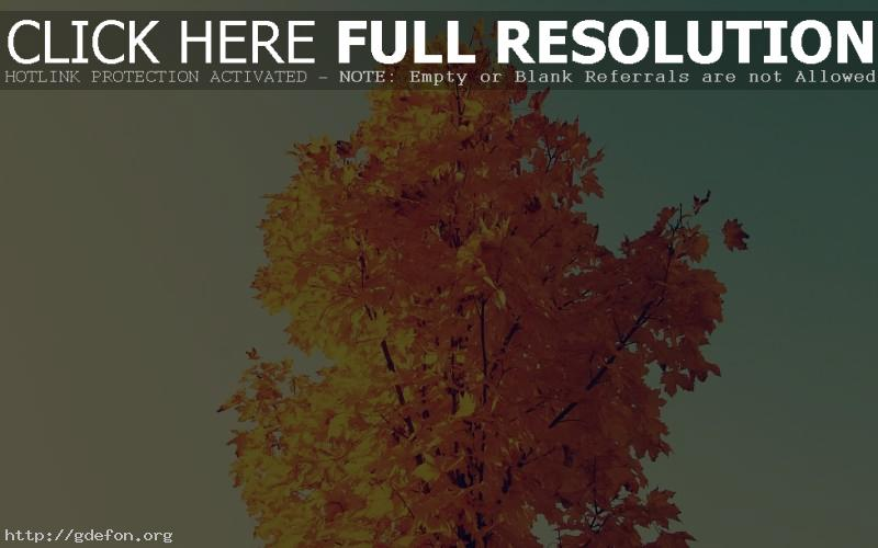 Обои Осень, клён, жёлтый фото картики заставки