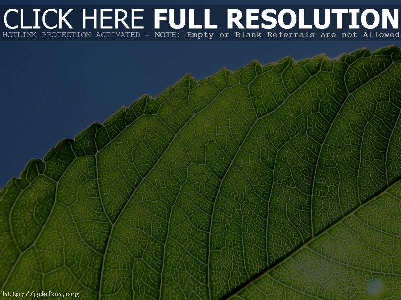 Обои Зеленый лист на солнце фото картики заставки