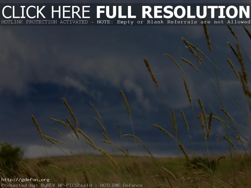 Обои Небо, колоски, поле фото картики заставки