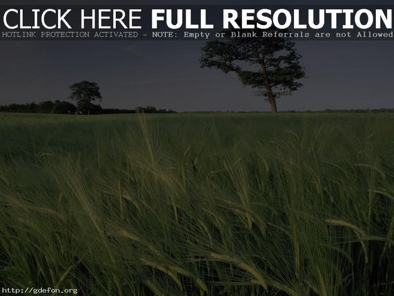 Обои Поле, трава, небо, дерево фото картики заставки
