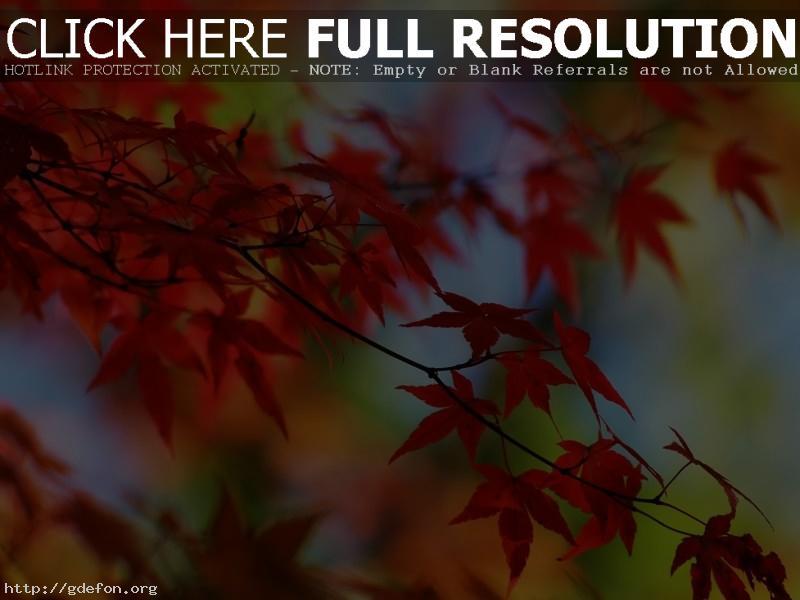Обои Листья, ветки, осень, красный фото картики заставки