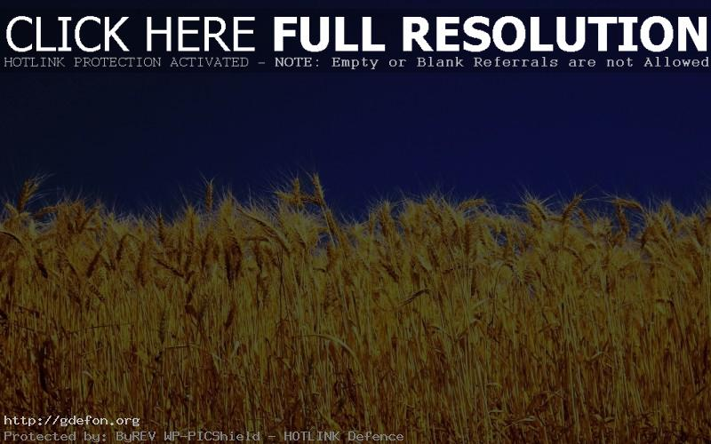Обои Желто поле и синее небо фото картики заставки