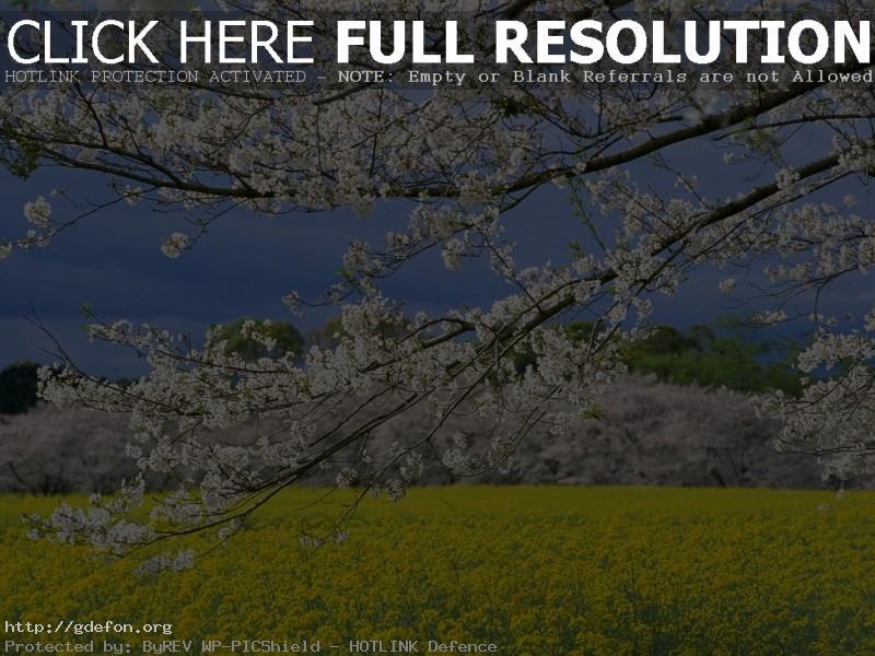 Обои Япония, весна, поле фото картики заставки