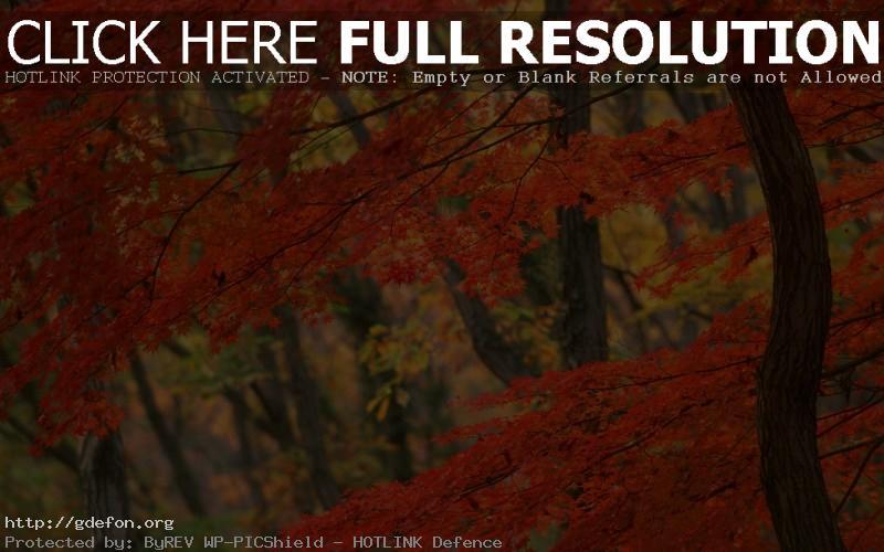 Обои Япония, дерево, осень фото картики заставки