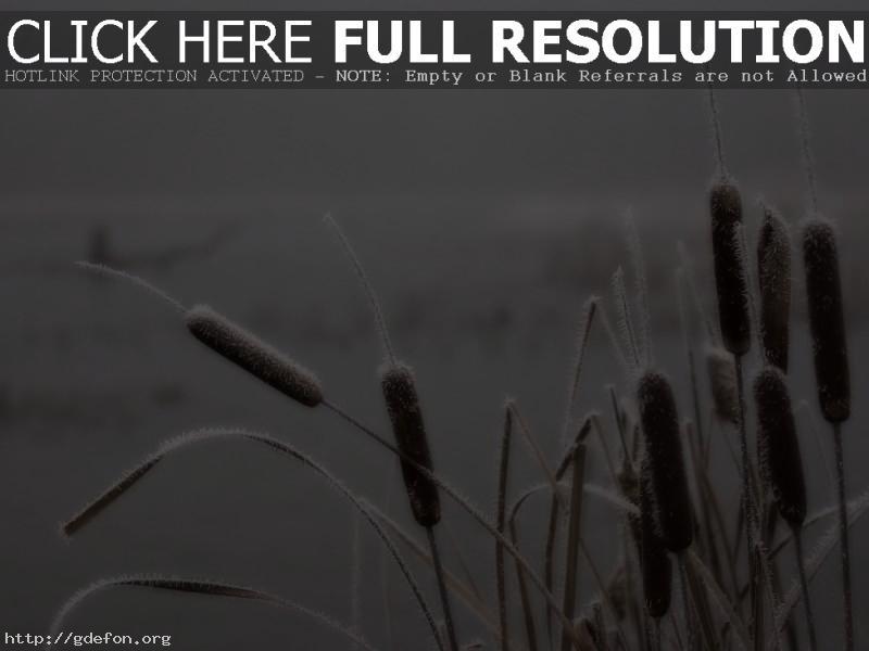 Обои Камыш, иней, болото, туман фото картики заставки