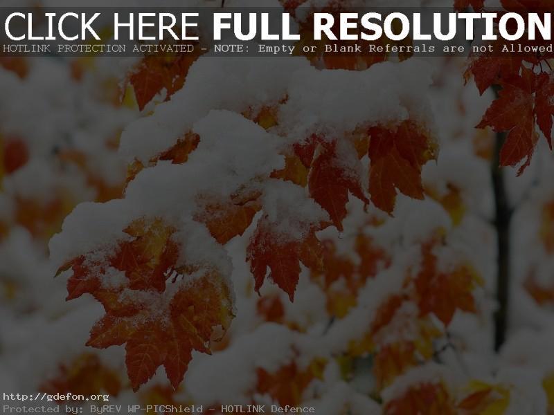 Обои Снег, листья, клен, дерево, иней фото картики заставки
