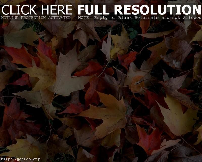 Обои Осень, листья, листва, клен фото картики заставки