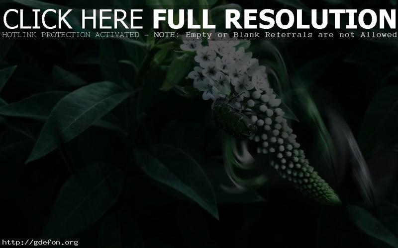 Обои Жук, листья, цветы фото картики заставки