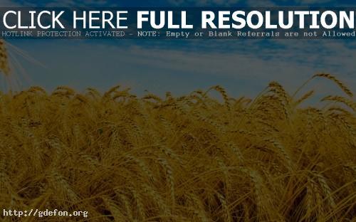 Обои Пшеничное поле фото картики заставки