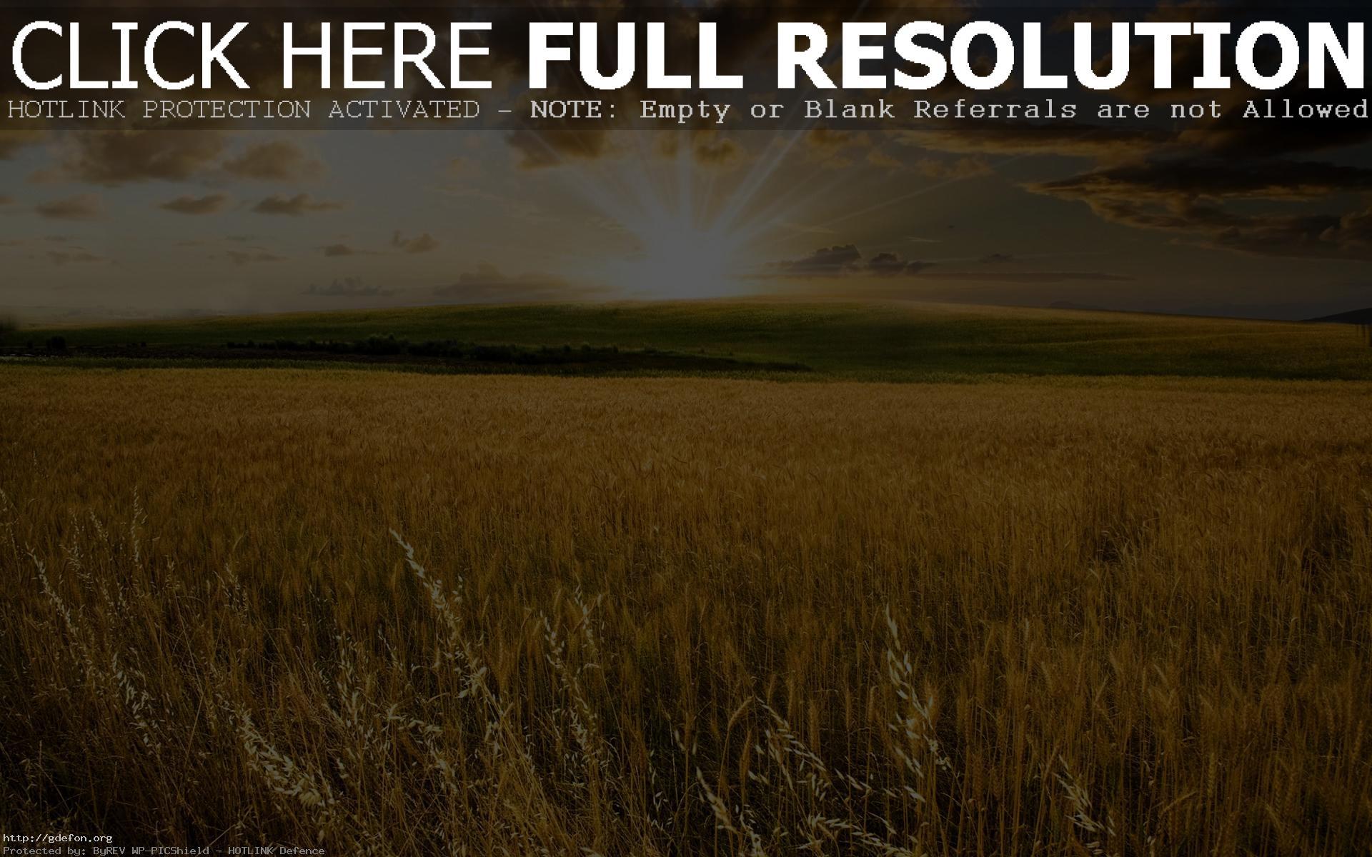 Пшеница обои рабочего стола
