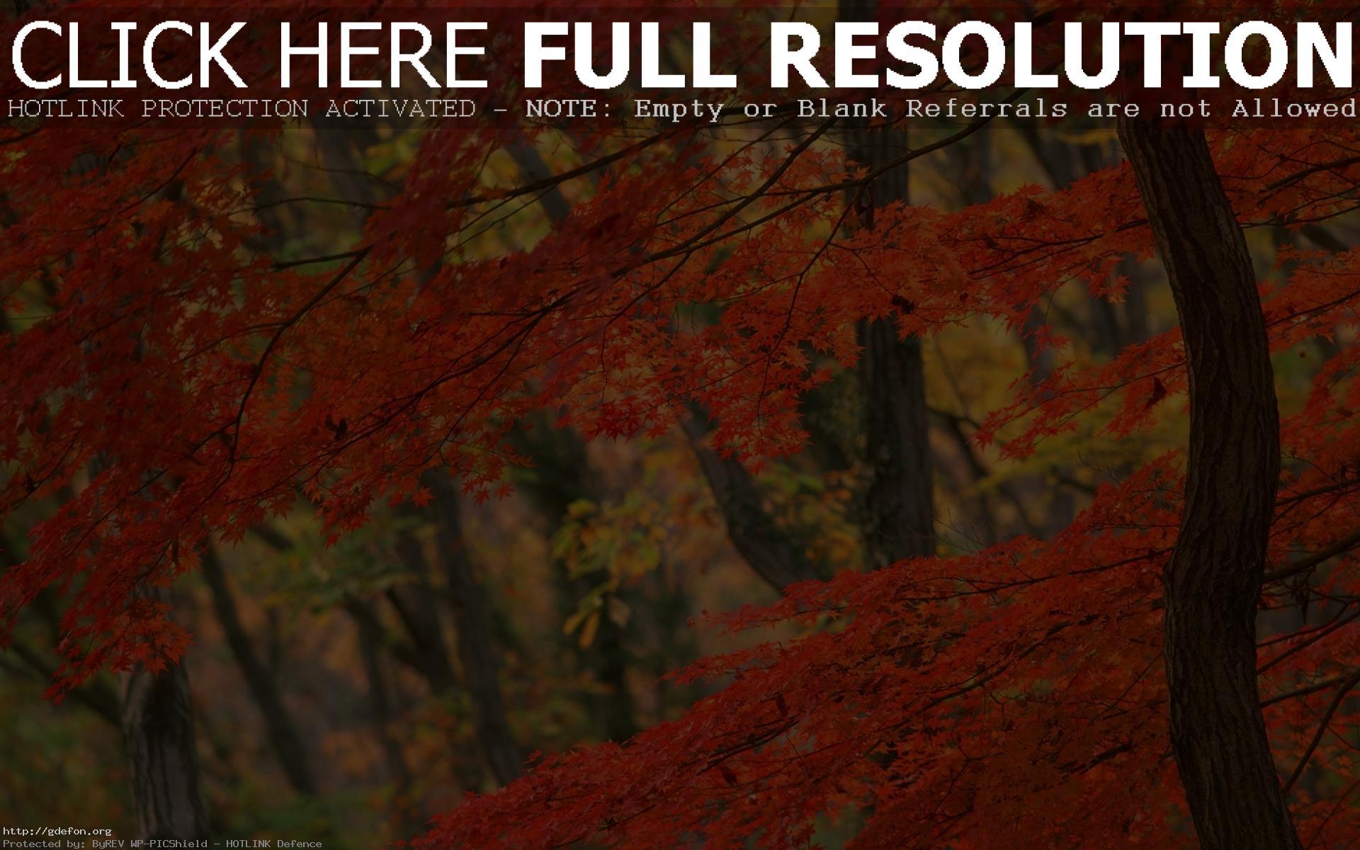 Япония дерево осень обои на рабочий