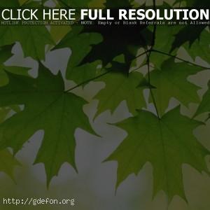Листья, клен, свежесть