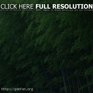 Бамбук, деревья, зеленый