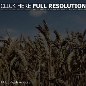 Поле, небо, пшеница, облака