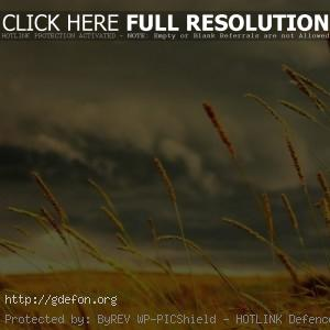 Колосистое поле на фоне хмурого неба