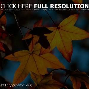 Листья, клен, осень, желтый