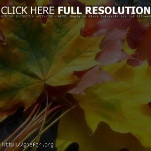 Листья, клен, желтый, осень