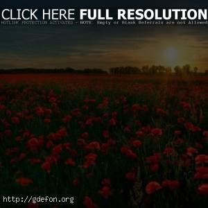 Поле, цветы, мак, солнце